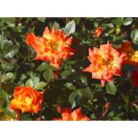 Роза Колибри (спрей)