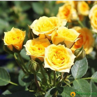 Роза Yellow Baby (спрей)