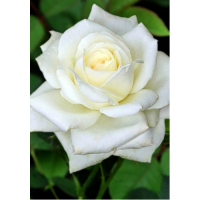 Роза Белый Медведь(чайно-гибридная)