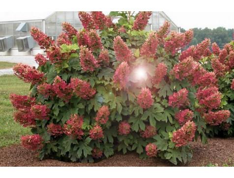 Гортензия Wim's Red (Вимс Ред) (метельчатая)