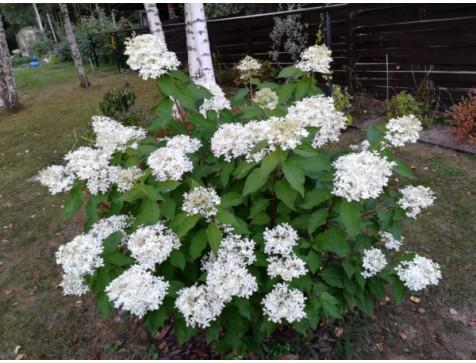 Гортензия Prim White (метельчатая)