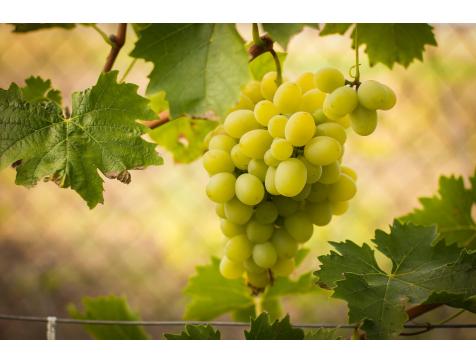 Виноград Лунный (Средний/Белый)