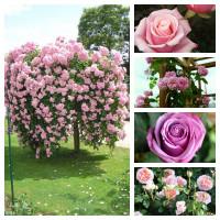 """Комплект """"Нежность"""" (Штамбовая роза Белла Вита, Английская роза Абрахам Дерби, Плетистая роза Крылья Ангела, Чайно-гибридная роза Кул Вотер,  Чайно-гибридная роза Панама)"""