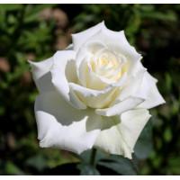 Роза Паскаль (шраб)