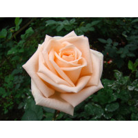 Роза Таймлесс(чайно-гибридная)