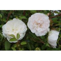Роза Свани (Swany) (почвопокровные)