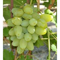 Виноград Бажена (Ранний/Белый)