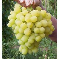 Виноград Лора (Ранний/Белый)