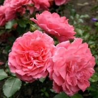 Роза Розариум Ютерзен (плетистая)
