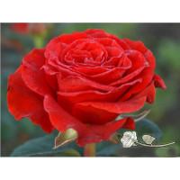 Роза Эль Торо (El Toro)(чайно-гибридная)