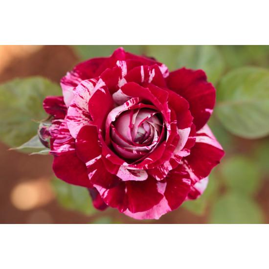 Роза Arrow Follies (Арроу Фолиес) (спрей)