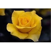 Роза Папилон(чайно-гибридная)