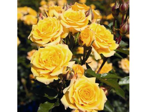 Роза Йеллоу Клементин (миниатюрные)