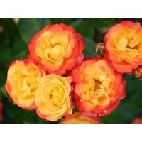 Роза Румба (спрей)