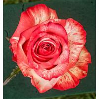 Роза Хай Твинкл(чайно-гибридная)