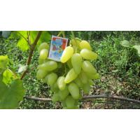 Виноград Долгожданный (Средний/Белый)