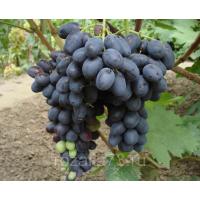 Виноград Черная Вишня (Ранний/Черный)
