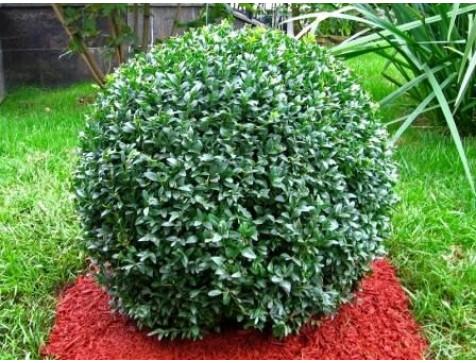 Самшит вечнозелёный Бухус