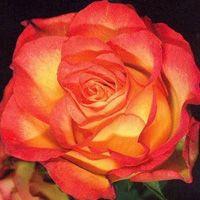 Роза Анимо (флорибунда)