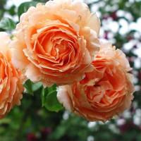 Роза Полька (плетистая)