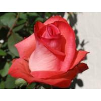 Роза Raphaela(чайно-гибридная)