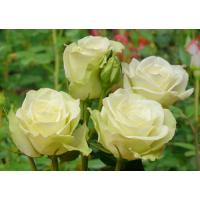 Роза Лавли Грин(чайно-гибридная)