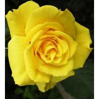Роза Старлайт(чайно-гибридная)