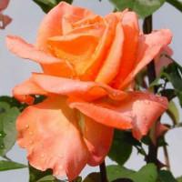 Роза Амбассадор(чайно-гибридная)