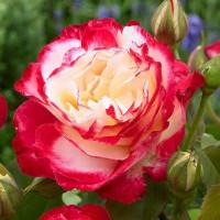 Роза Дабл Делайт(чайно-гибридная)